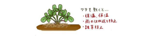 いちご_敷き藁