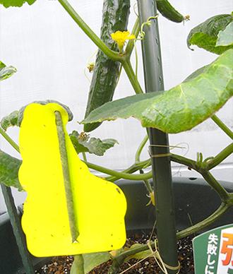 きゅうり_黄色粘着シートの効果