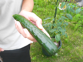 きゅうりの収穫3