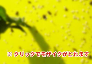 黄色粘着シートの効果