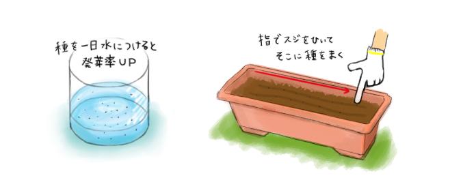 大葉_種蒔き