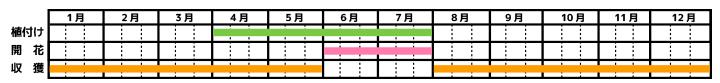パセリ_栽培カレンダー