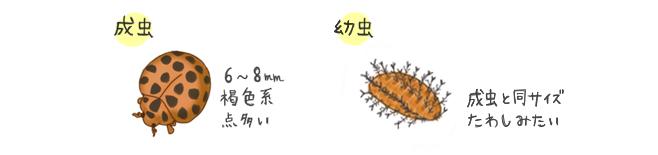 テントウムシダマシの生態