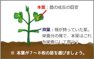 トマトの苗の選び方