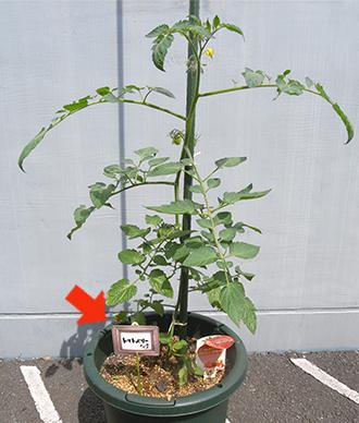 トマトの苗に粘着シートを設置